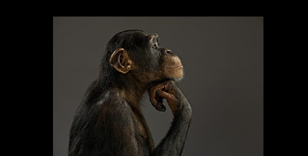 Photo de Un militant des droits des animaux compare des chimpanzés en cage aux esclaves noirs americains