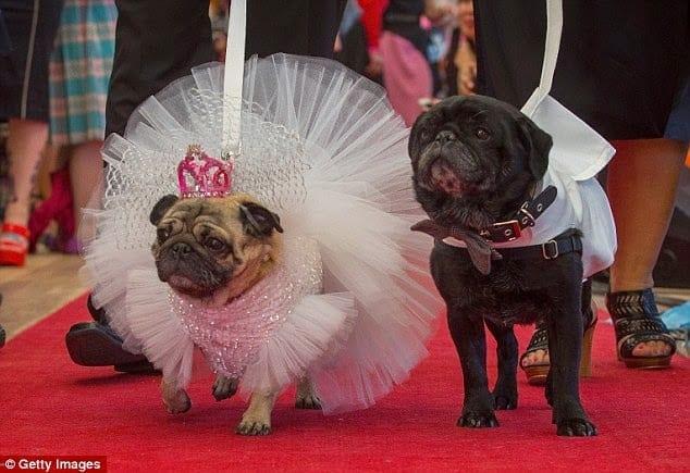 Photo de Après être sortis ensemble pendant sept ans 2 chiens se marient: photos