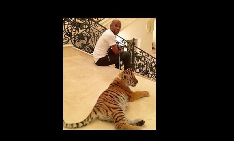 Photo de Floyd Mayweather s'achète un tigre de 2 mois comme cadeau de Noël