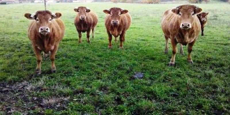 Photo de Une vache tue une dame en balade avec sa famille