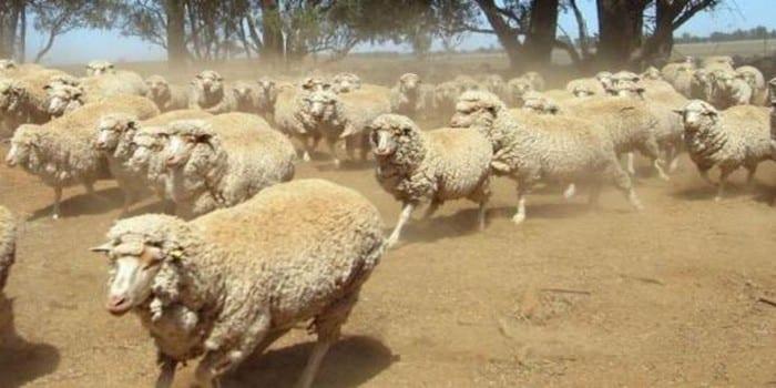 Photo de Des moutons défoncés au cannabis sèment la panique