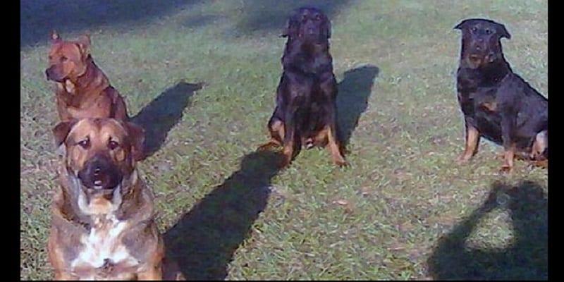 Photo de Un vieil homme dévoré par quatre chiens: PHOTO