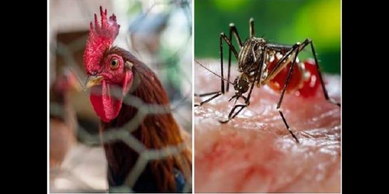 Photo de Comment les odeurs de poulet pourraient prévenir le paludisme…