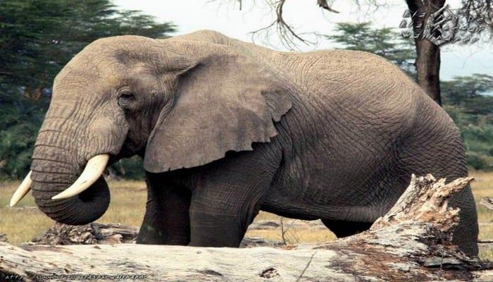 Photo de Côte d'Ivoire : des éléphants dévastent des plantations