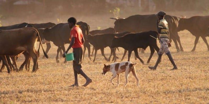 Photo de Zimbabwe: les vaches et les chèvres comme garanties bancaires ?
