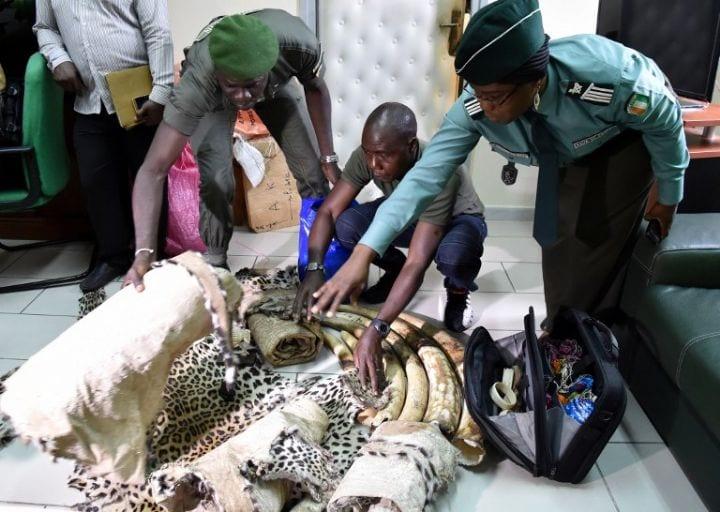 Photo de Côte d'Ivoire: 60 kg d'ivoire et des peaux de panthères saisis