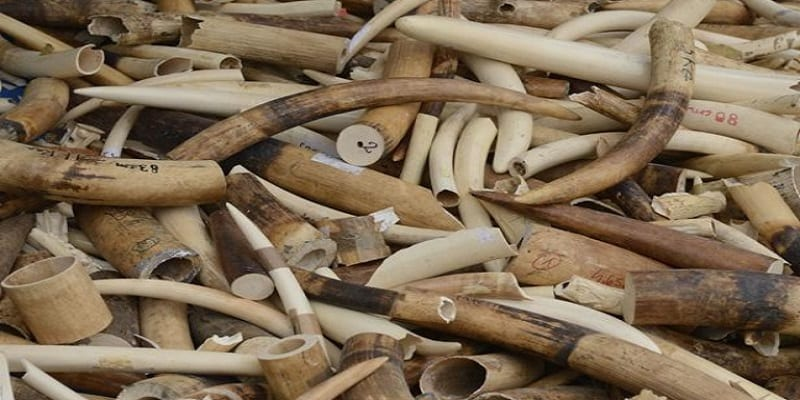 Photo de Côte d'Ivoire: Un réseau de trafiquants d'ivoire démantelé à Abidjan
