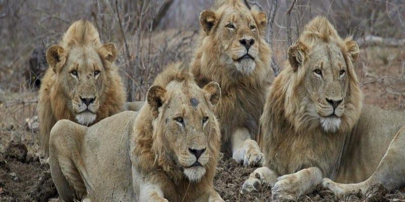 Photo de Afrique du Sud: Des lions dévorent des braconniers de rhinocéros