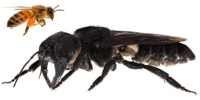 Photo de La plus grosse abeille du monde retrouvée après des décennies-Photos