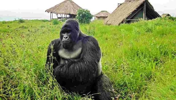 Photo de RDC : Ce selfie de gorilles avec des agents de lutte contre le braconnage affole la toile (photo)