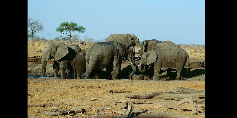 Photo de Zimbabwe : Le gouvernement vend plus de 90 éléphants à la Chine et à Dubaï