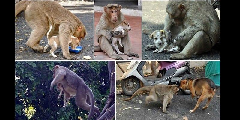 Photo de Un singe adopte un chiot après l'avoir défendu contre des chiens errants