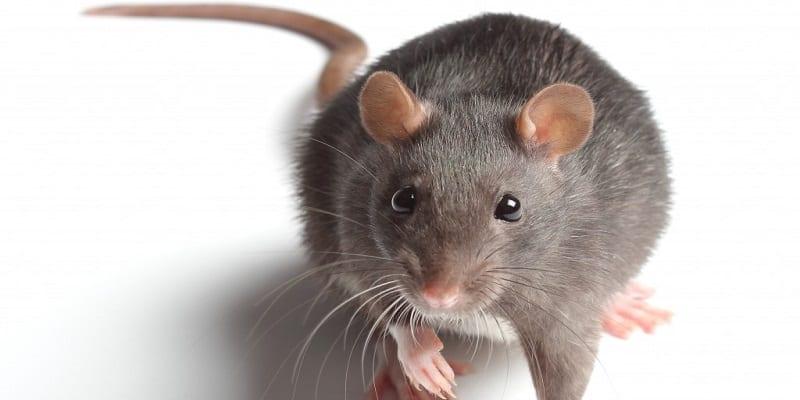 Photo de Ghana: Une grosse souris accusée d'être responsable des récentes coupures de courant électrique