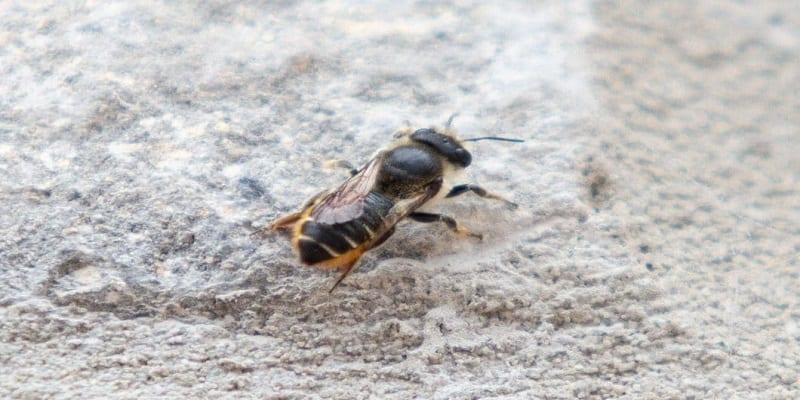 Photo de Une abeille turque recherchée par le gouvernement britannique