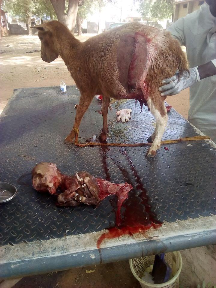 Nigeria: Une chèvre donne naissance à un petit avec un crâne de forme humaine-Photos