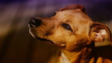 Photo de Togo: la viande de chien réservée aux hommes dans le nord du pays. La raison!