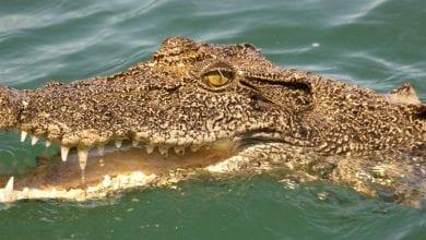 Photo de Afrique du Sud: Il perd son travail à cause du Covid-19 et finit ses jours entre les crocs d'un crocodile