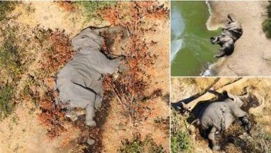 Photo de Botswana: plus de 350 éléphants retrouvés morts mystérieusement