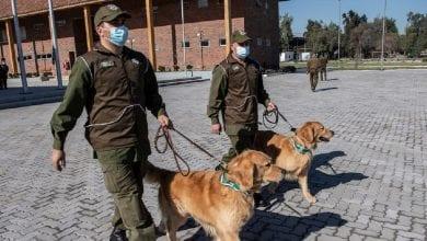 Photo de Chili: des chiens dressés pour détecter les malades de la Covid-19