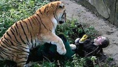 Photo de Suisse: une gardienne de zoo tuée par un tigre devant des visiteurs horrifiés