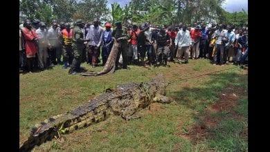 Photo de L'incroyable histoire d'Osama, le crocodile qui a mangé plus de 80 Ougandais