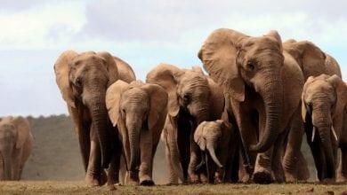 Photo de RDC: Un braconnier qui a tué plus de 500 éléphants sévèrement puni par la loi