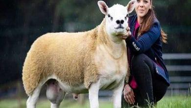 Photo de Le mouton le plus cher du monde vendu à 490 000 dollars (vidéo)