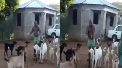 Photo de Afrique du Sud : un homme tient une réunion avec ses chèvres (vidéo)