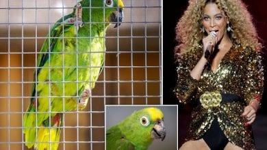 Photo de Angleterre : un perroquet devient célèbre en interprétant « If I Were A Boy » de Beyonce (vidéo)