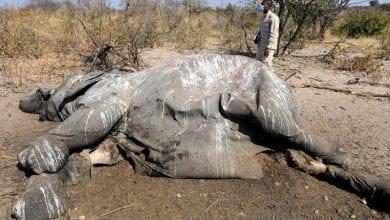 Photo de Zimbabwe : plusieurs éléphants meurent mystérieusement non loin d'un parc