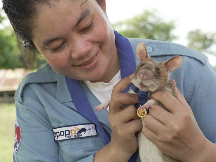 Un rat reçoit une médaille d'or miniature pour sa bravoure