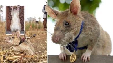 Photo de Un rat reçoit une médaille d'or miniature pour sa bravoure