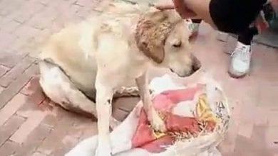 Photo de Une chienne violée par un groupe d'hommes et poignardée 30 fois
