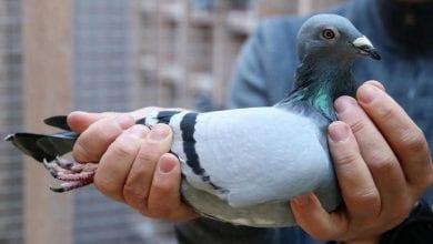 Photo de Un pigeon voyageur vendu au prix record de 1,6 million d'euros