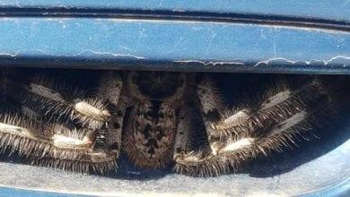 Photo de Australie : elle tombe sur une araignée géante logée dans la poignée de la portière de sa voiture