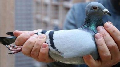 Photo de Un Pigeon venu des Etats-Unis enfreint les règles d'entrée en Australie…Il sera euthanasié