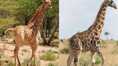 Photo de Des girafes « naines » découvertes en Afrique…une première dans l'histoire (vidéo)