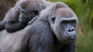 Photo de Coronavirus: deux gorilles testés positifs à la Covid-19 dans un zoo